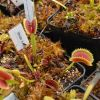 ibride a plantev